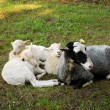 Stock Photo: Sheep and Lambs