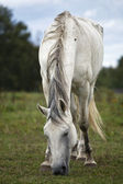 Grey horse — Stock Photo