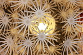 Chandelier - a dandelion — Stock Photo
