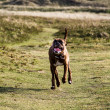 Boxer dog running — Stock Photo
