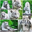 White tigers collage — Stock Photo
