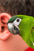 Parrot and the human ear — Stock Photo