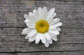 Blossom of daisy — Stock Photo