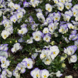 Viola flowers — Stock Photo