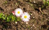 Two daisies — Stock Photo