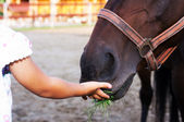 Feeding horse — Stock Photo