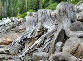 Old Stumps — Stockfoto