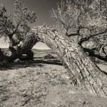 Tired Cottonwood — Stock Photo #26451023