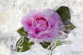 Rose inside ice — Stock Photo