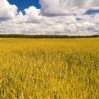 Yellow wheat field and blue sky  — Stockfoto