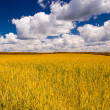 Yellow wheat field and blue sky — Stock Photo