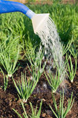 Spring onion on the vegetable garden — Stock Photo