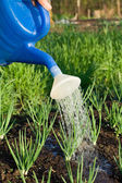 Spring onion is watered on the vegetable garden close-up — Stock Photo
