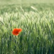 Single red poppy among cereals — Stock Photo