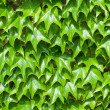 Pattern of green ivy leaves close-up - Stock Photo