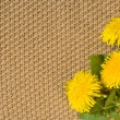 Beige textile Backgrounds close-up and spring dandelions — Stock Photo