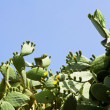 Prickly pear cactus flowering yellow on the blue sky background — Stock Photo