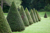 Line of cone evergreen box tree bushes in cultivated park — Stock Photo