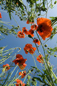 Red poppies on the blue sky background — Stock Photo