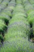 Flowering lavender plantation — Stock Photo