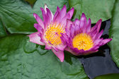 Violet lilies Nymphaea on the water surface — Стоковое фото