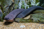 Electric eel in Aqua — Stock Photo