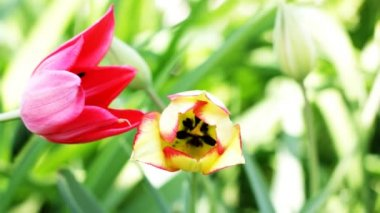 Yellow tulip rising above field of colorful tulips. — Stock Video