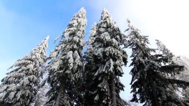 Winter trees under snow — Stock Video