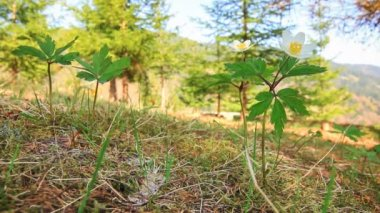 Camomile. — Stock Video
