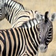 Herd of Burchell zebras in Etosha wildpark - Stock Photo