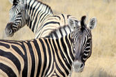 Herd of Burchell zebras in Etosha wildpark — Stock Photo