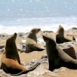 Colony of seals at Cape Cross Reserve, Atlantic Ocean coast - Stock Photo