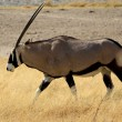 Gemsbok antelope, EtoshNational Park — Stock Photo #15352129