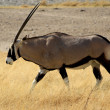 Stock Photo: Gemsbok antelope, EtoshNational Park