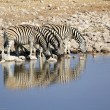 Stock Photo: Herd of Burchell zebras drinking water in Etoshwildpark