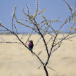 Lilac-breasted Roller, (Coracias caudatus), Etosha National Park - Stock Photo
