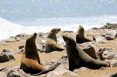 Kolonie van zeehonden op kaap kruis reserve, atlantische oceaan kust — Stockfoto