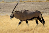 Gemsbok antelope, Etosha National Park — Stock Photo