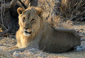 Young male lion (Panthera leo) lying in the grass, Etosha Nation — Stock Photo