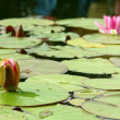 Pink water lily (Species: Nymphaea Masaniello) among green leav — Stock Photo #15422945