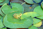 Frog (Species: Hyla arborea) resting on waterlily leaves — Stock Photo