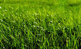Fresh green grass in a meadow — Stock Photo