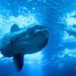 Huge luna-fish (mola-molor ocesunfish) in aquarium — Stok Fotoğraf #15693375