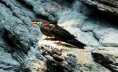 Inca Tern. (Scientific name: Larosterna Inca) — Stock Photo