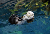 Sea otter (Scientiphic name: Enhydra lutris) — Zdjęcie stockowe