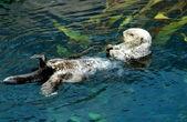 Sea otter (Scientiphic name: Enhydra lutris) — Stock Photo