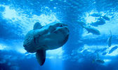 Huge luna-fish (mola-mola or ocean sunfish) in aquarium — Stock Photo