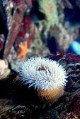 Anemone (Urticina piscivora) — Stock Photo