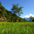 Green rice fields landscape — Stock Photo