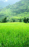 Green rice fields and mountain river landscape, trek to Annapurna — Stock Photo